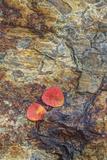 USA, California, June Lake. Aspen Leaves on Rocky Ledge Fotografisk trykk av Jean Carter