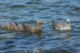Falkland Islands, Bleaker Island. Upland Goose Family Swimming Lámina fotográfica por Cathy & Gordon Illg