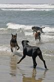 USA, California, Del Mar. Dogs Playing in Ocean at Dog Beach del Mar Reproduction photographique par Kymri Wilt