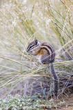 Wyoming, Sublette Co, Least Chipmunk Sitting on Grasses Eating Reproduction photographique par Elizabeth Boehm