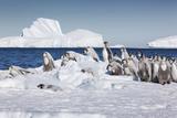 Cape Washington, Antarctica. Emperor Penguin Chicks Foto von Janet Muir