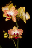 USA, Oregon, Keizer, Cultivated Orchid Fotografie-Druck von Rick A Brown