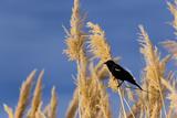 Washington, Walla Walla. Mcnary NWR, Ravenna Grass Valokuvavedos tekijänä Brent Bergherm