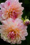 USA, Oregon, Shore Acres State Park. Close-up of Dahlia Flowers Fotografisk trykk av Jean Carter