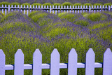USA, Washington State, Sequim. Field of Lavender with Picket Fence Fotografisk trykk av Jean Carter