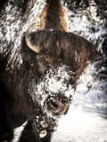 Shoshone National Forest, Wyoming, Usa. Bison with Snow on Face Fotografie-Druck von Janet Muir