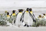 Falkland Islands, South Atlantic. Group of King Penguins on Beach Fotografie-Druck von Martin Zwick