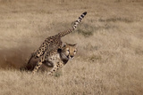 Namibia. Cheetah Running at the Cheetah Conservation Foundation Photo by Janet Muir