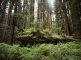 California, Humboldt Redwoods State Park, Coastal Redwoods and Ferns Fotografie-Druck von Christopher Talbot Frank