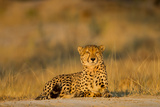 Botswana, Moremi Game Reserve, Cheetah Resting on Low Rise at Dawn Foto af Paul Souders