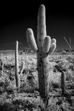 USA, Arizona, Tucson, Saguaro National Park Stretched Canvas Print by Peter Hawkins