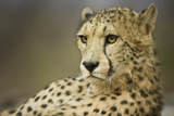 Livingstone, Zambia, Africa. Cheetah Fotografía por Janet Muir
