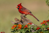 Northern Cardinal (Cardinalis Cardinalis) Male Perched on Log Reproduction photographique par Larry Ditto