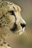 Livingstone, Zambia. Close-up of Cheetah Profile Fotografía por Janet Muir