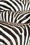 Kenya, Amboseli National Park, Close Up on Zebra Stripes Photo by Anthony Asael