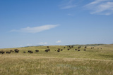 Portrait of American Bison Grazing in the Grasslands, North Dakota Lámina fotográfica por Angel Wynn