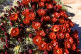 Claretcup Cactus (Echinocereus Triglochidiatus) in Bloom Reproduction photographique par Richard Wright