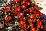 Claretcup Cactus (Echinocereus Triglochidiatus) in Bloom Lámina fotográfica por Richard Wright