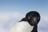 Cape Washington, Antarctica. Adelie Penguin Looking at the Camera Foto von Janet Muir