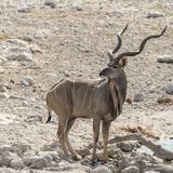 Namibia, Etosha National Park. Male Kudu Photo by Wendy Kaveney