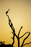 Botswana, Chobe NP, Savuti, Silhouette of Yellow-Billed Egret at Dusk Photo by Paul Souders