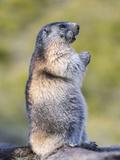 Alpine Marmot in the Hohe Tauern, Mount Grossglockner. Austria Foto di Martin Zwick