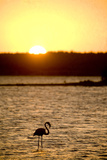 Caribbean, Netherlands Antilles. Flamingo in Gotomeer Lake at Sunset Photo by John & Lisa Merrill