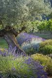 Olive Tree, Lavender and Grapevines in Gardem, Midi-Pyrenees, France Foto av Brian Jannsen