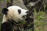 China, Sichuan, Chengdu, Giant Panda Bear Feeding on Bamboo Shoots Fotografia por Paul Souders