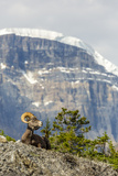 Canada, Alberta, Jasper NP, Bighorn Sheep Ram (Ovis Canadensis) Photographie par Jamie & Judy Wild