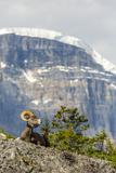Canada, Alberta, Jasper NP, Bighorn Sheep Ram (Ovis Canadensis) Foto von Jamie & Judy Wild