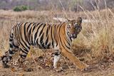 Royal Bengal Tiger in Grassland, Tadoba Andheri Tiger Reserve, India Foto av Jagdeep Rajput