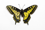 Anise Swallowtail Butterfly, Top and Bottom Wing Comparison Photo by Darrell Gulin