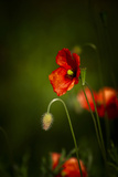 All Stages of Red Poppies Flowering Photo by Sheila Haddad