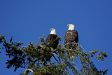 Bald Eagles Roosting in a Fir Tree in British Columbia Photographie par Richard Wright