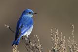 Pájaro azul de montaña Fotografía por Ken Archer