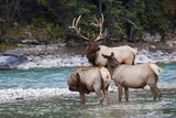 Rocky Mountain Bull Elk with Cows Foto von Ken Archer