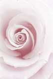 Rose Abstract Photographie par Anna Miller