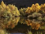 California, Sierra Nevada, Autumn Aspen Trees Reflecting in Rush Creek Foto av Christopher Talbot Frank