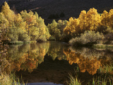 California, Sierra Nevada, Autumn Aspen Trees Reflecting in Rush Creek Foto von Christopher Talbot Frank