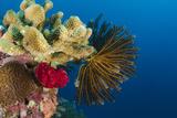 Bennett's Feather Star (Oxycomanthus Bennetti), Rainbow Reef, Fiji Foto von Pete Oxford