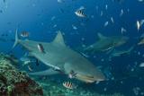 Bull Shark, Commercial Shark Feeding, Benga Lagoon, Viti Levu, Fiji Foto von Pete Oxford
