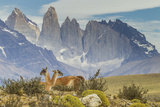 Chile, Patagonia, Torres del Paine. Guanacos in Field Photo by Cathy & Gordon Illg