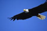 USA, Alaska, Southeast, Ketchikan, Bald Eagle Photo by Savanah Stewart