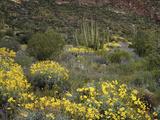 Arizona, Organ Pipe Cactus NM, Wildflowers in the Ajo Mountains Foto av Christopher Talbot Frank