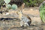 An Antelope Jackrabbit (Lepus Alleni) Alert for Danger Foto af Richard Wright
