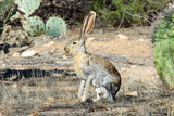 An Antelope Jackrabbit (Lepus Alleni) Alert for Danger Photo by Richard Wright