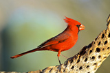 A Male Cardinal Feeds on Insects on a Cholla Cactus Skeleton Photographie par Richard Wright