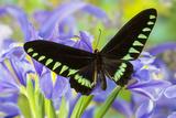 Palawan Birdwing or Triangle Birdwing Butterfly, Trogonoptera Trojana Photo by Darrell Gulin
