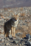 California, Death Valley NP. A Coyote in the Wild at Death Valley Photographie par Kymri Wilt